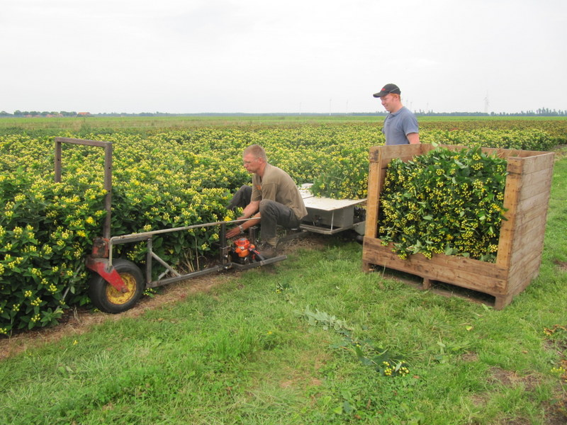 oogst-hypericum-met-nieuwe-oogstmachine
