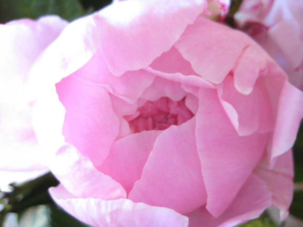 pioenroos-roze-mooi