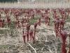 voorjaar-de-pioenrozen-steken-hun-kop-boven-de-grond